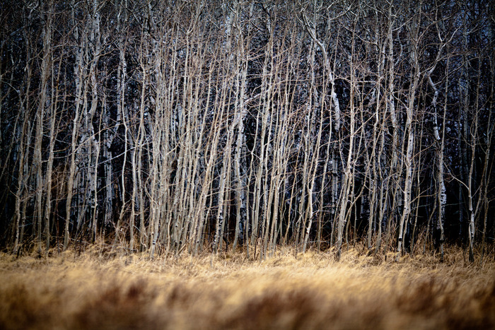 An Aspen grove on the cut-across road from East Glacier to Heart Butte.