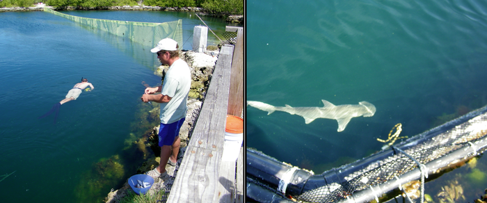 (left)The Aqua Ranch - Charlie Barra and Discovery Shark Week Crew Cameraman!  (right) One of our juvenile bonnethead sharks, born at The Aqua Ranch!