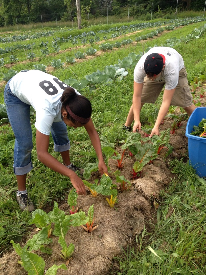 Harvesting swiss chard for our CSA
