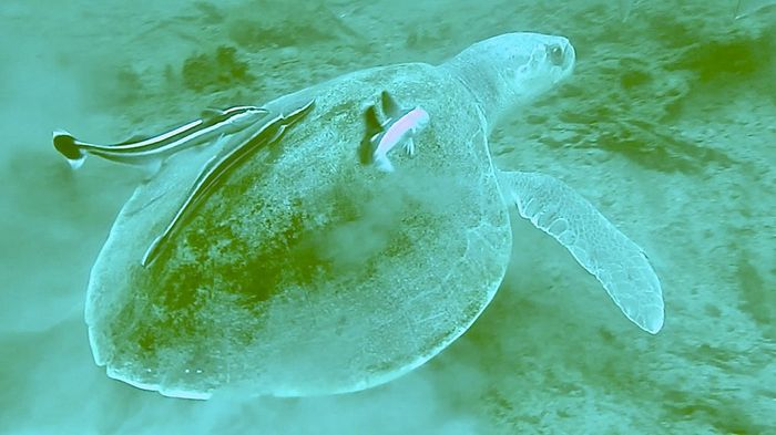 This endangered Kemps Ridley turtle lives in the forest.