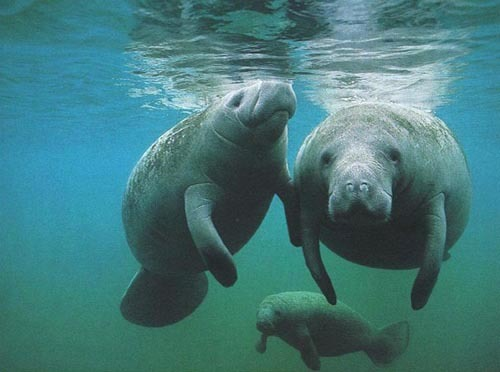 Fig.2 Underwater Orps, err...,  Manatees!