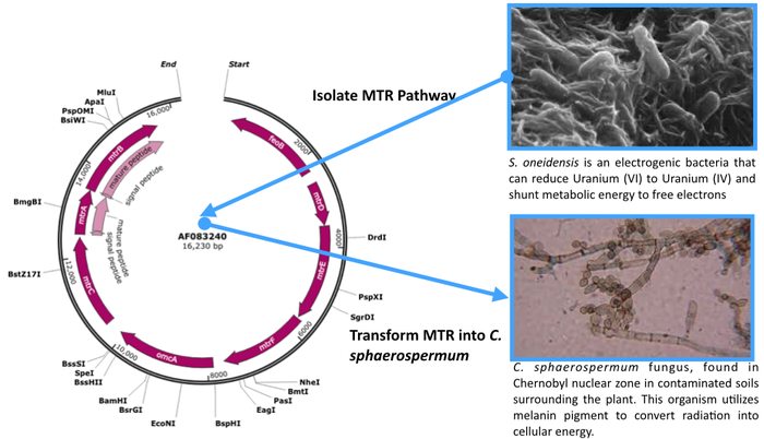 Mtr pathway native to S. oneidensis, multi-cytochrome gene cluster, complete sequence; ferrous iron transporter (feoB), deca-heme c-type cytochrome (mtrC), c-type cytochrome precursor (mtrA), and outer membrane protein precursor (mtrB)