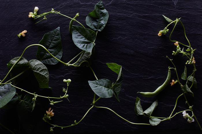 """Pole Bean Flowers"" by Tara Donne"