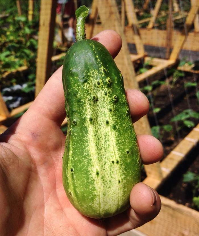 GARY DUCKET™ NATURALLY FARMED CUCUMBERS