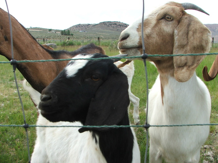 Maezy's favorite goat Sticky and his girlfriend Randi.