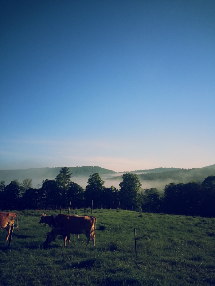 cows at Mountain Home Farm
