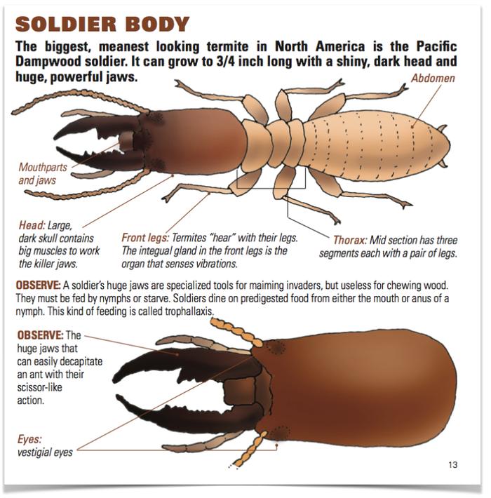 Termitat\', una colonia de termitas en tu casa   Trasdós