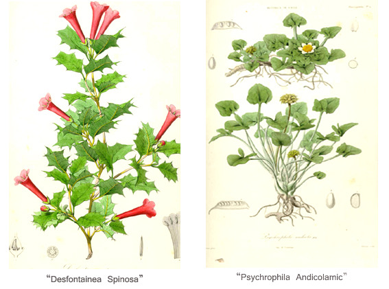 Chilean Flores illustrated by Claudio Gay.