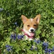 Corgi%20bluebonnet.small