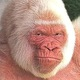 White_gorilla.small