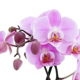 Orchid_white_picture_2_166738.medium