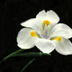 2nd_place_white_lily_by_barbara_sargent.small