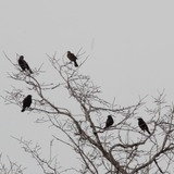 Blackbirds.medium