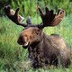 Smiling_moose.small
