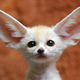 Fennecfox.small