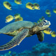 Green%20sea%20turtle.small
