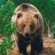 Grizzly-bear.small