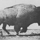 Muybridge_buffalo_galloping.medium