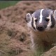 Badger_in_burrow.small