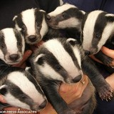 Badgerboyband.medium