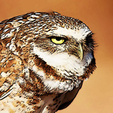 Burrowowl_square.medium
