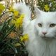 Stunning white maine coon.small