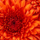 Chrysanthemum.small