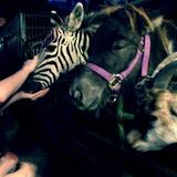 My_first_time_seeing_a_zebra_i_got_to_feed_it_too_.medium