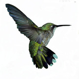 Hummingbird.medium