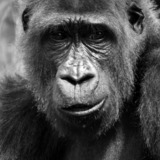 Gorilla-photo-bw.medium