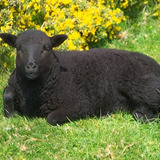 01_62_25---black-sheep_web.medium