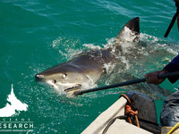 Great White South Africa