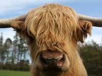 Highland Cow Calendar 2015
