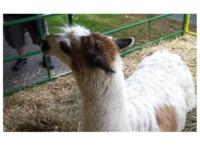 Llama Lasso Roundup