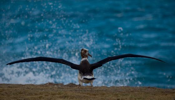 albatros midway אלבטרוס מידווי