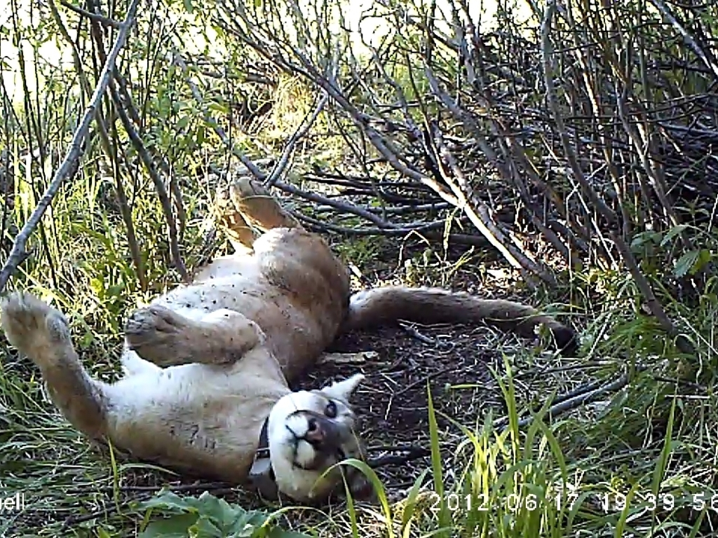 Teton Cougar Project's video poster