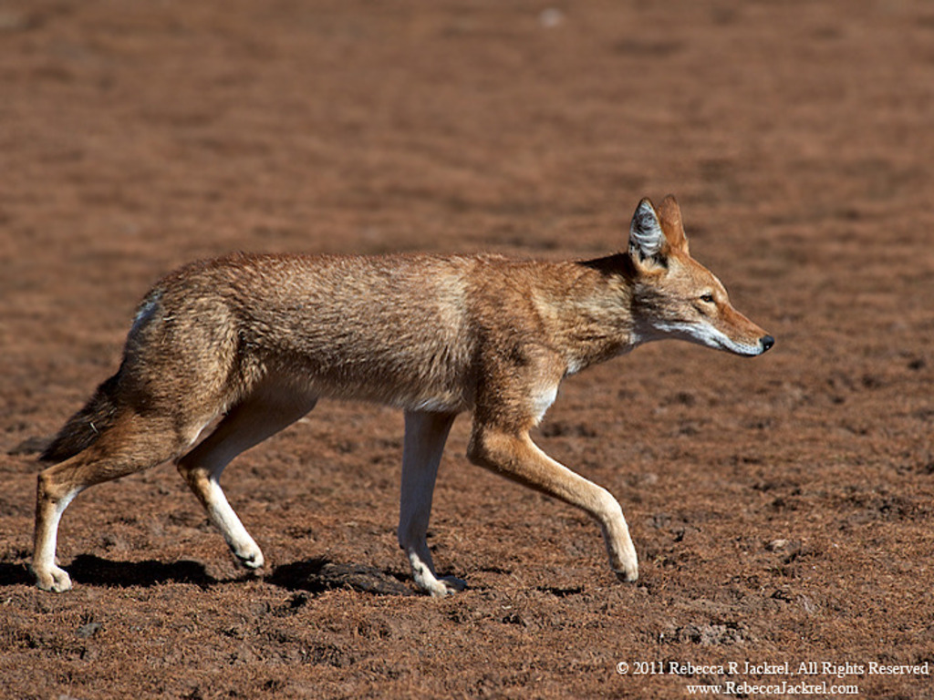 Ethiopian Wolf Documentary Project's video poster