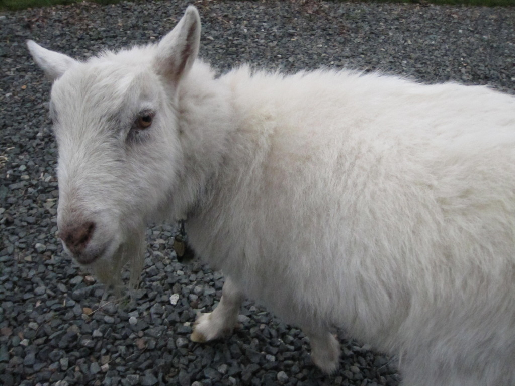 SNOWBALL - a film about a psychic goat's video poster