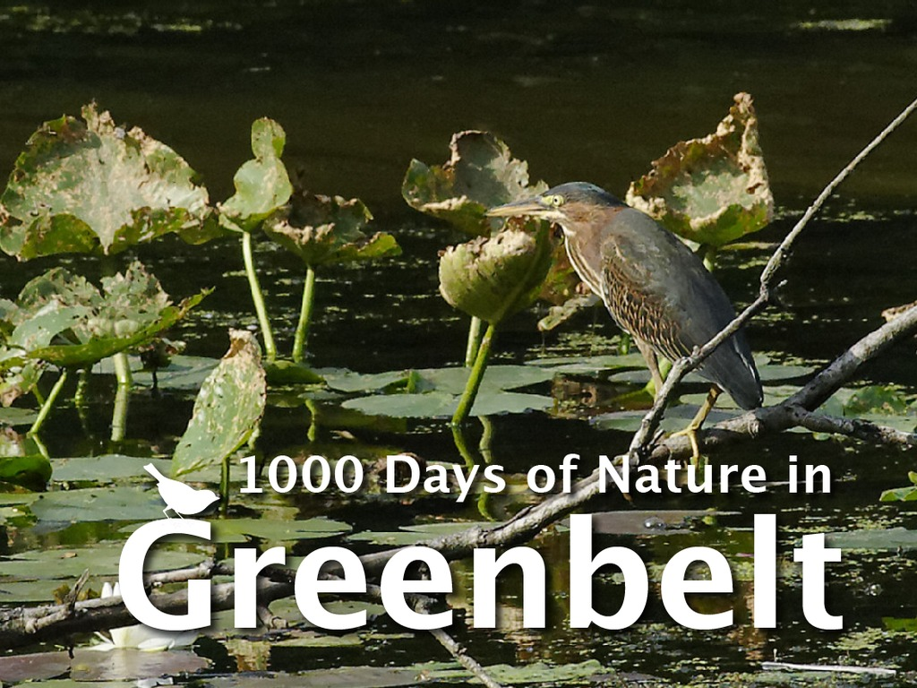 1000 Days of Greenbelt Nature's video poster
