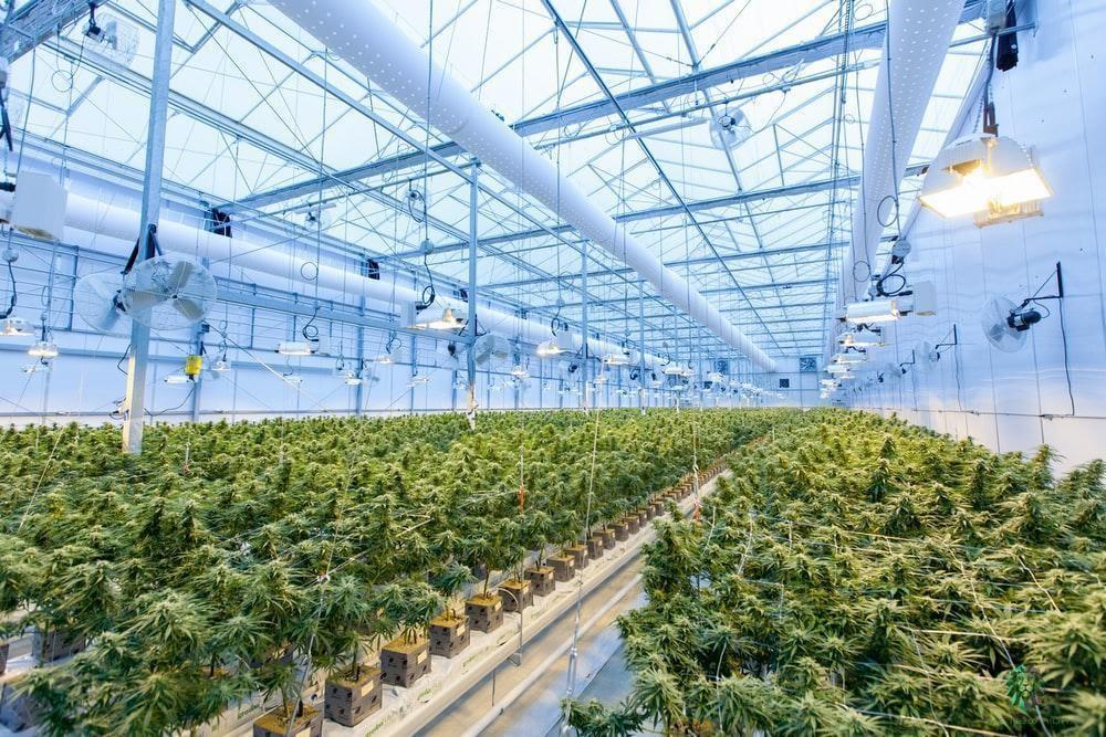 cannabis growhouse