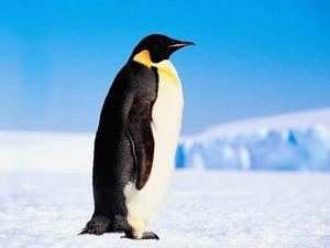 comment appelez vous cet oiseau un pingouin ou un. Black Bedroom Furniture Sets. Home Design Ideas
