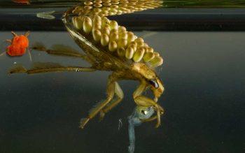 waterbug image