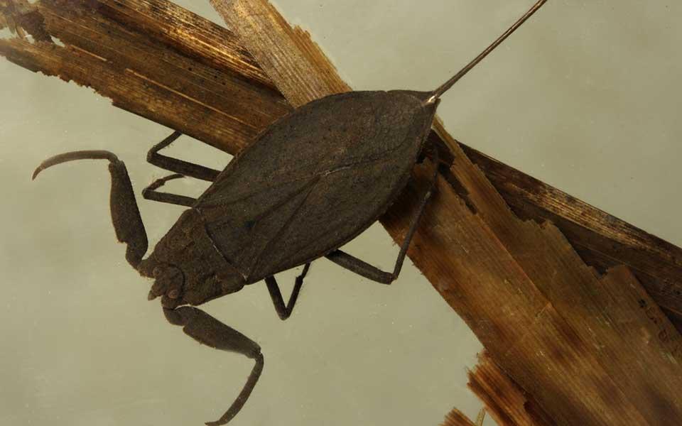 . Giant Water Bug