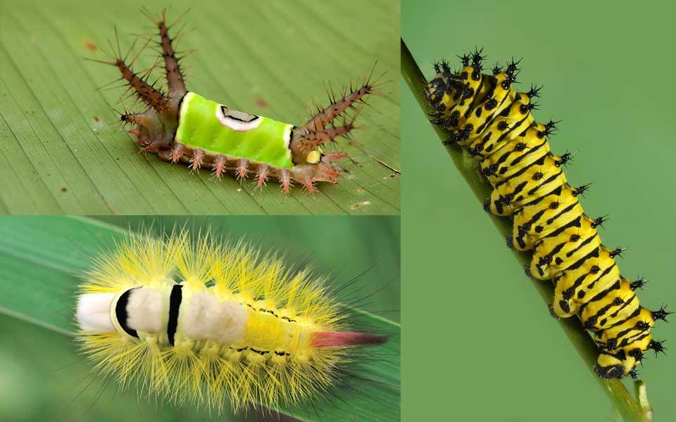 10 Crazy Looking Caterpillars