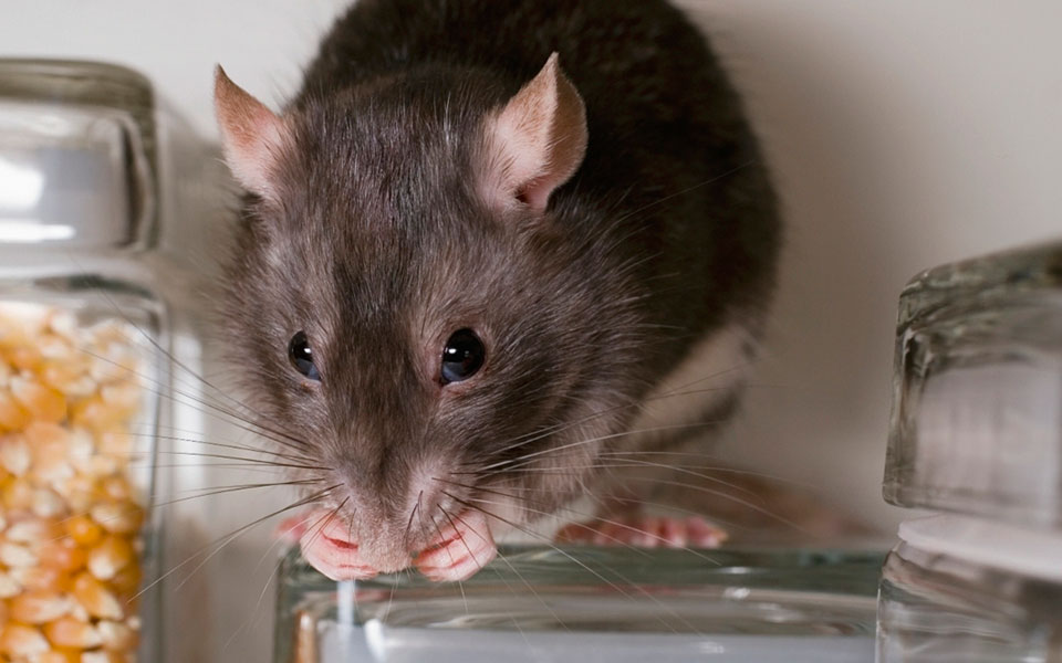 Peppermint to Repel Rats: Truth and Myth