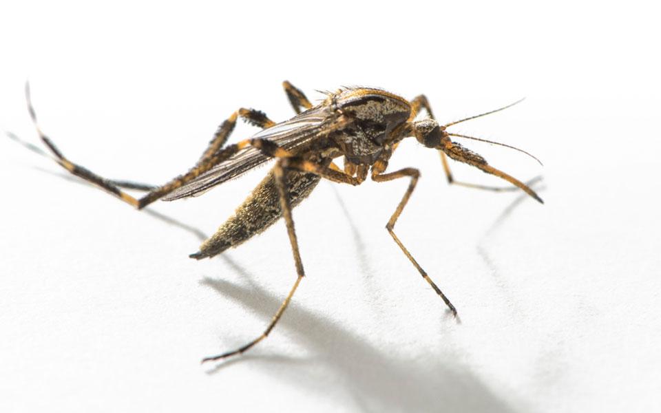 Gallinipper Mosquito