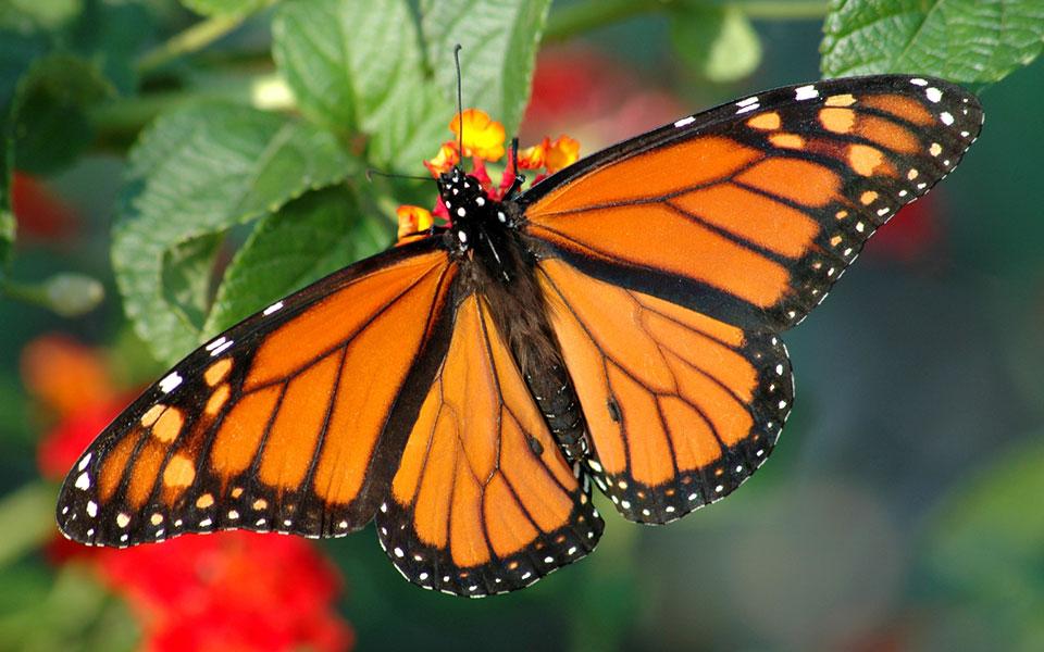 Diy Raising Monarch Butterflies
