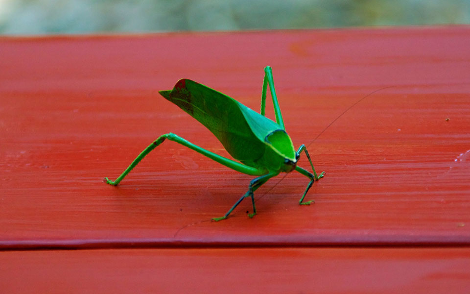 Katydids And Camouflage