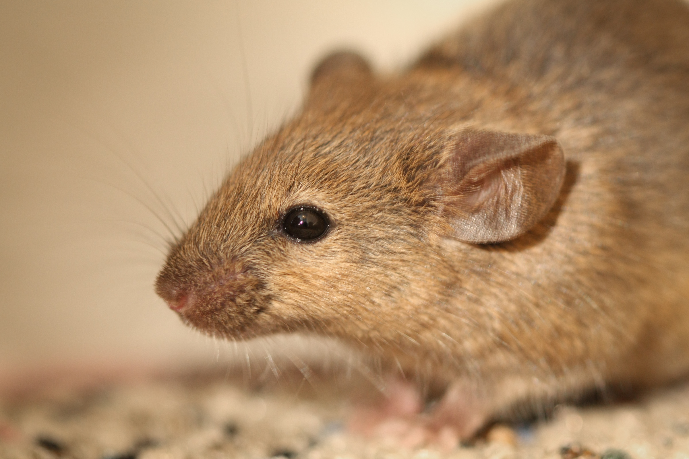 rodent diseases