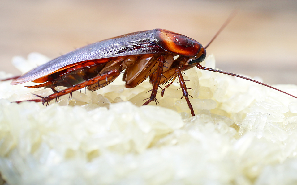Do Cockroaches Only Thrive In Dirty Homes?